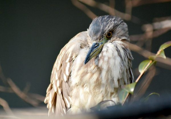 6.JPG_2426(ホシゴイ・ゴイサギの幼鳥).jpg