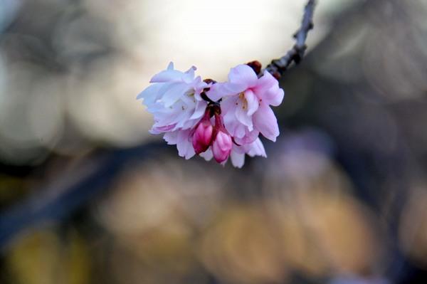 7.JPG_2501(十月桜).jpg