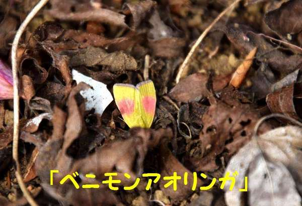 DSC_1782(ベニモンアオリンガ).jpg