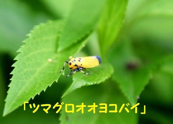 DSC_1786(ツマグロオオヨコバイ).jpg