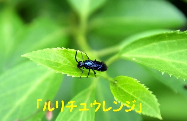 DSC_1787(ルリチュウレンジ).jpg