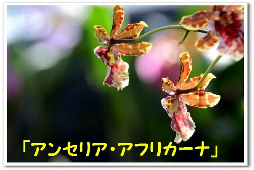 JPG_0477(アンセリア・アフリカーナ).jpg