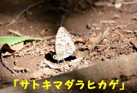 JPG_4426(サトキマダラヒカゲ).jpg