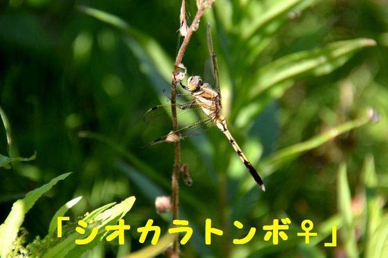 JPG_4427(シオカラトンボ・♀).jpg