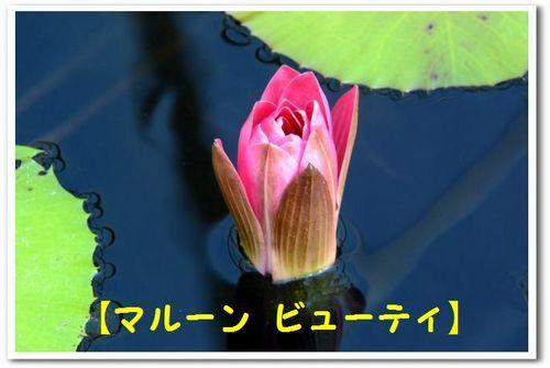 JPG_5354(マルーン ビューティー).jpg