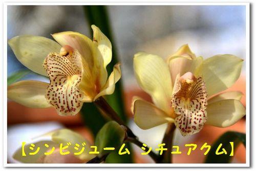 JPG_5412(シンビジューム シチュアニクム).jpg